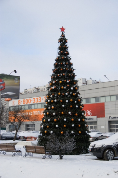 Сосна Уральская 1
